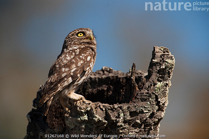 Little owl (Athene noctua) perched on tree stump, Do�ana National & Natural Park, Huelva Province, Andalusia, Spain, May 2009  ,  BIRDS,BIRDS OF PREY,EUROPE,NP,OWLS,PETE OXFORD,RESERVE,SPAIN,VERTEBRATES,WWE,National Park,Raptor  ,  Wild Wonders of Europe / Oxford