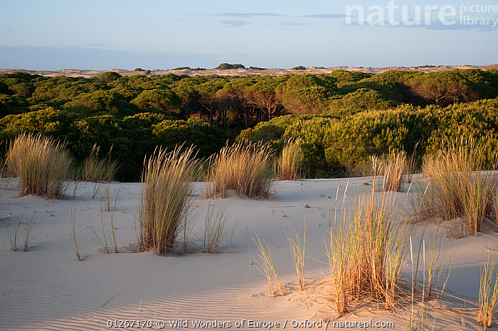 Sand dunes encroaching on Pine trees (Pinus sp) with Marram grass (Ammophila arenaria) growing on dunes, Do�ana National & Natural Park, Huelva Province, Andalusia, Spain, May 2009  ,  CONIFERS,EUROPE,GRAMINEAE,GRASSES,GYMNOSPERMS,LANDSCAPES,MONOCOTYLEDONS,NP,PETE OXFORD,PINACEAE,PINES,PLANTS,POACEAE,RESERVE,SAND DUNES,SPAIN,TREES,WWE,National Park  ,  Wild Wonders of Europe / Oxford