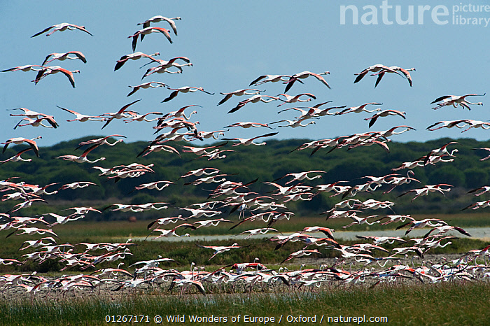 Flock of Greater flamingos (Phoenicopterus ruber) in flight, Do�ana National & Natural Park, Huelva Province, Andalusia, Spain, May 2009  ,  BIRDS,EUROPE,FLAMINGOS,FLOCKS,FLYING,GROUPS,NP,PETE OXFORD,RESERVE,SPAIN,VERTEBRATES,WWE,National Park  ,  Wild Wonders of Europe / Oxford