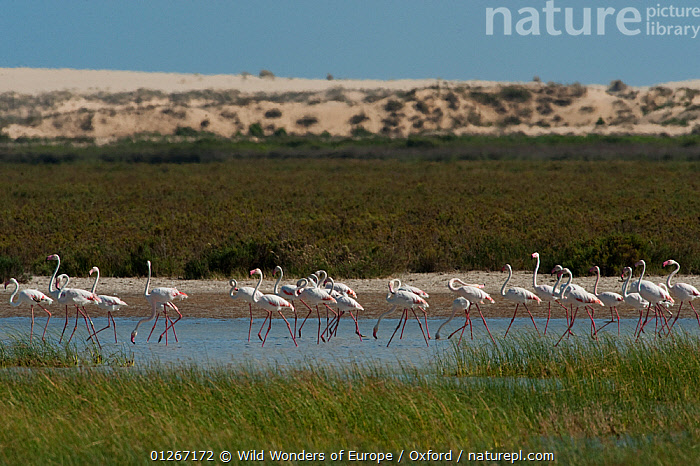 Greater flamingos (Phoenicopterus ruber) in lagoon, Do�ana National & Natural Park, Huelva Province, Andalusia, Spain, May 2009  ,  BIRDS,EUROPE,FLAMINGOS,GROUPS,LAGOONS,LANDSCAPES,NP,PETE OXFORD,RESERVE,SPAIN,VERTEBRATES,WATER,WETLANDS,WWE,National Park  ,  Wild Wonders of Europe / Oxford