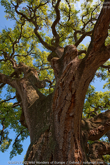 Cork oak tree (Quercus suber) Do�ana National & Natural Park, Huelva Province, Andalusia, Spain, May 2009  ,  BARK,DICOTYLEDONS,EUROPE,FAGACEAE,LOW ANGLE SHOT,NP,PETE OXFORD,PLANTS,RESERVE,SPAIN,TREES,VERTICAL,WWE,National Park  ,  Wild Wonders of Europe / Oxford