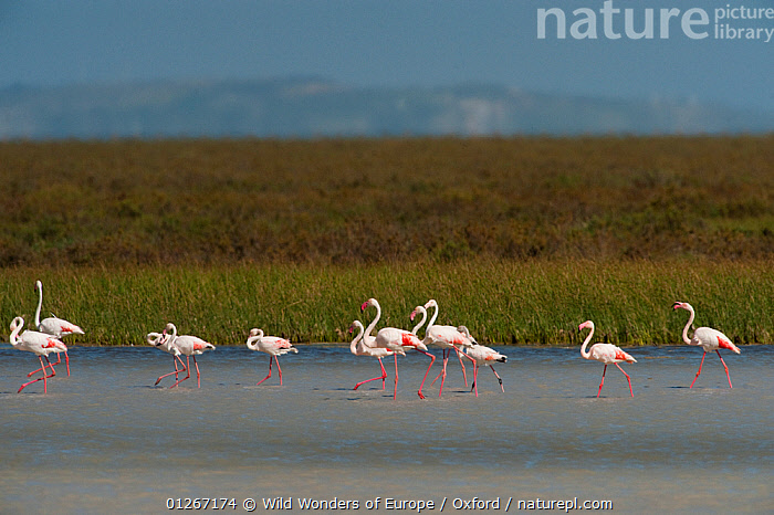 Greater flamingos (Phoenicopterus ruber) in lagoon, Do�ana National & Natural Park, Huelva Province, Andalusia, Spain, May 2009  ,  BIRDS,EUROPE,FLAMINGOS,GROUPS,LAGOONS,LANDSCAPES,NP,PETE OXFORD,RESERVE,SPAIN,VERTEBRATES,WALKING,WATER,WETLANDS,WWE,National Park  ,  Wild Wonders of Europe / Oxford