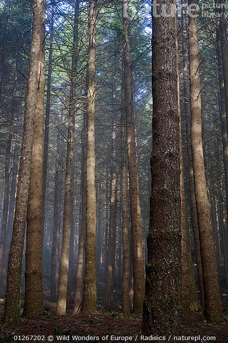 Pine forest, Montado do Barreiro Natural Park, Madeira, March 2009  ,  CONIFERS,EUROPE,FORESTS,GYMNOSPERMS,LANDSCAPES,MILAN RADISICS,PINES,PLANTS,PORTUGAL,RESERVE,TREES,TRUNKS,VERTICAL,WWE  ,  Wild Wonders of Europe / Radisics