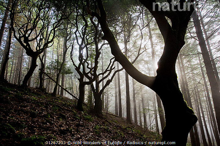 Woodland with sun shining through mist, Montado do Barreiro Natural Park, Madeira, March 2009  ,  EUROPE,FORESTS,LANDSCAPES,MILAN RADISICS,MIST,PORTUGAL,RESERVE,SILHOUETTES,TREES,TRUNKS,WOODLANDS,WWE,PLANTS  ,  Wild Wonders of Europe / Radisics