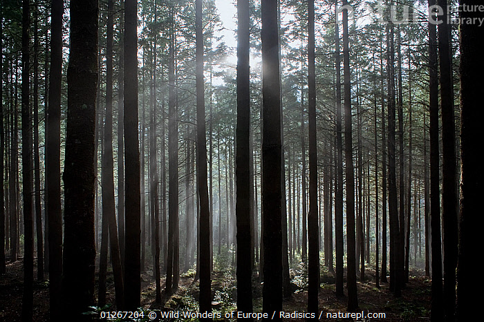 Pine forest with rays of light shining through trees, Montado do Barreiro Natural Park, Madeira, March 2009  ,  CONIFERS,EUROPE,FORESTS,GYMNOSPERMS,LANDSCAPES,MILAN RADISICS,PINES,PLANTS,PORTUGAL,TREES,TRUNKS,WWE  ,  Wild Wonders of Europe / Radisics