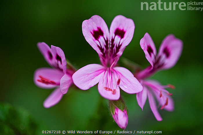 Clammy crane's bill, (Pelargonium glutinosum) flowers, Madeira, March 2009  ,  ARTY SHOTS,DICOTYLEDONS,EUROPE,FLOWERS,GERANIACEAE,GERANIUM,MILAN RADISICS,PINK,PLANTS,PORTUGAL,WWE  ,  Wild Wonders of Europe / Radisics