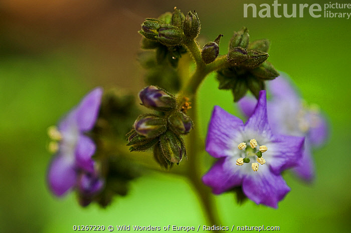 Spiderwort (Tradescantia) buds and flowers, Madeira, March 2009  ,  ARTY SHOTS,BUDS,COMMELINACEAE,EUROPE,FLOWERS,MILAN RADISICS,MONOCOTYLEDONS,PLANTS,PORTUGAL,PURPLE,WWE  ,  Wild Wonders of Europe / Radisics
