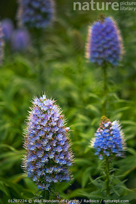 Pride of Maderia (Echium candicans) flowers, Madeira, March 2009  ,  BORAGINACEAE,DICOTYLEDONS,EUROPE,FLOWERS,GROUPS,MILAN RADISICS,PLANTS,PORTUGAL,PURPLE,VERTICAL,WWE  ,  Wild Wonders of Europe / Radisics