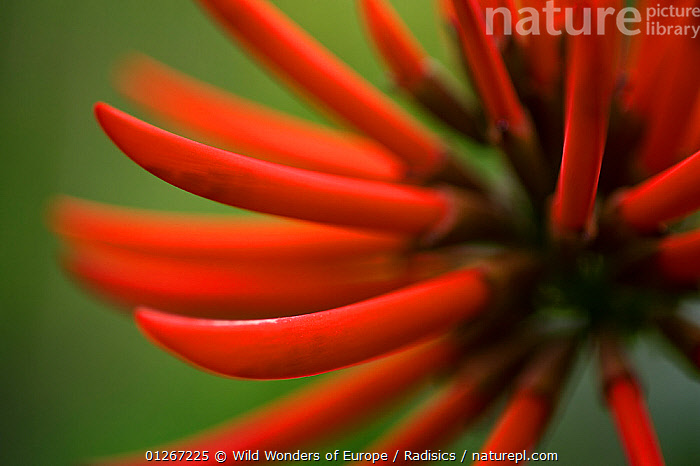 Cock�s comb coral tree (Erythrina crista-galli) flower, Madeira, March 2009  ,  ABSTRACT,CLOSE UPS,DICOTYLEDONS,EUROPE,FABACEAE,FLOWERS,LEGUME,MILAN RADISICS,PLANTS,PORTUGAL,RED,WWE,Anthozoans,Marine,Invertebrates,Cnidaria  ,  Wild Wonders of Europe / Radisics