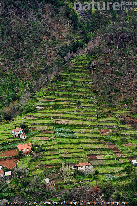 Strip cultivation in Madeira, March 2009  ,  AGRICULTURE,BUILDINGS,EUROPE,FARMLAND,HIGH ANGLE SHOT,HOMES,LANDSCAPES,MILAN RADISICS,PORTUGAL,VERTICAL,WWE  ,  Wild Wonders of Europe / Radisics