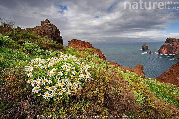 African daisy (Arctotis hybrids) plant flowering on cliff top, Ponta de Sao Lourenco, Madeira, March 2009  ,  ASTERACEAE,CLIFFS,COASTS,DAISIES,DICOTYLEDONS,EUROPE,LANDSCAPES,MILAN RADISICS,PLANTS,PORTUGAL,WWE,Geology  ,  Wild Wonders of Europe / Radisics