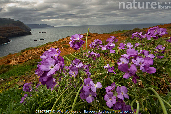 Changeable wall flowers (Erysimum mutabile) in flower on cliff top, Madeira, March 2009  ,  Brassica, BRASSICACEAE, CLIFFS, COASTS, DICOTYLEDONS, EUROPE, FLOWERS, LANDSCAPES, Milan-Radisics, PLANTS, PORTUGAL, PURPLE, WWE,Geology  ,  Wild Wonders of Europe / Radisics