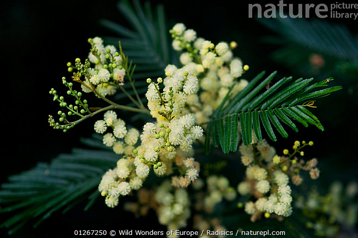 White mimosa tree (Acacia dealbata) flowers, Madeira, March 2009  ,  DICOTYLEDONS,EUROPE,FABACEAE,FLOWERS,LEAVES,LEGUME,MILAN RADISICS,PLANTS,PORTUGAL,WWE  ,  Wild Wonders of Europe / Radisics