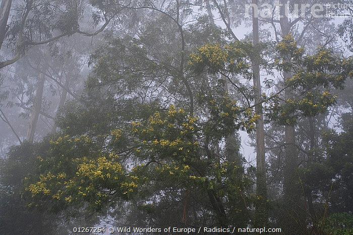 Forest in mist, Madeira, March 2009  ,  EUROPE,LANDSCAPES,MILAN RADISICS,MIST,PORTUGAL,TREES,WOODLANDS,WWE,PLANTS  ,  Wild Wonders of Europe / Radisics