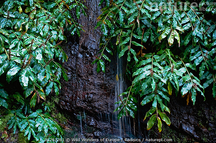 Water falling down rock face with tropical surroundings in north of Madeira, March 2009  ,  EUROPE,LEAVES,MILAN RADISICS,PORTUGAL,ROCKS,STREAMS,WATER,WATERFALLS,WWE  ,  Wild Wonders of Europe / Radisics