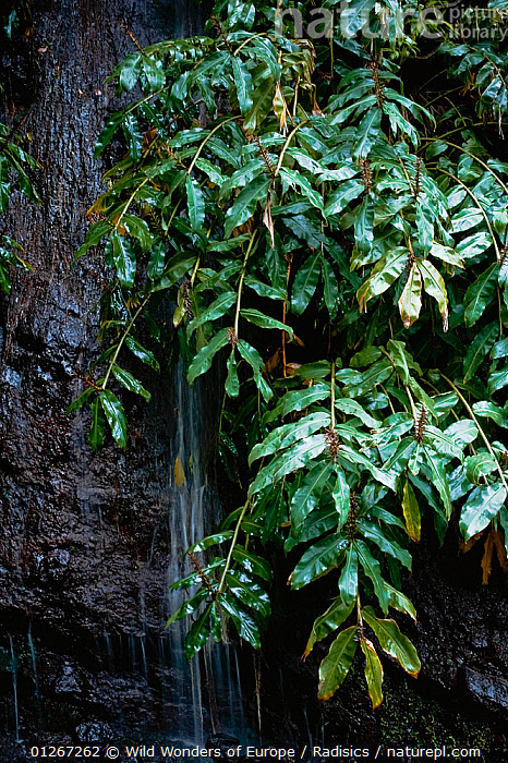 Water falling down rock face, with tropical surroundings in north of Madeira, March 2009  ,  EUROPE,LEAVES,MILAN RADISICS,PORTUGAL,STREAMS,VERTICAL,WATER,WATERFALLS,WWE  ,  Wild Wonders of Europe / Radisics