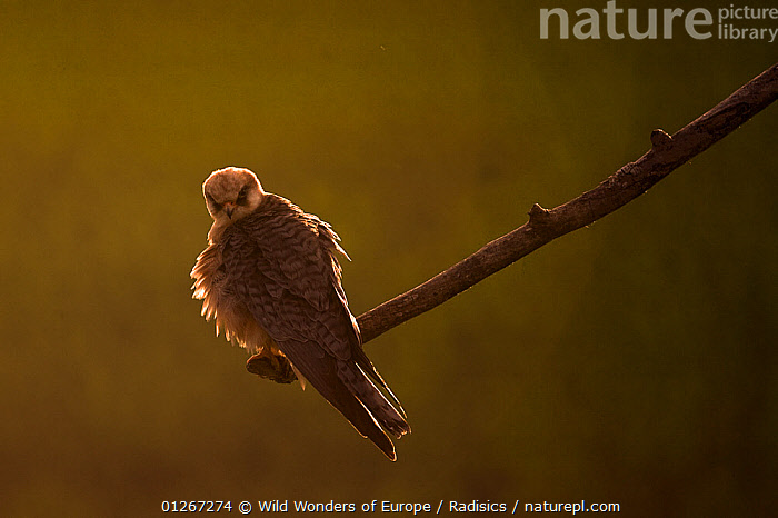 Red footed falcon (Falco vespertinus) perched at the end of a branch at sunset, Hortobagy National Park, Hungary, May 2009  ,  BIRDS,BIRDS OF PREY,EASTERN EUROPE,EUROPE,FALCONS,HUNGARY,MILAN RADISICS,NP,RESERVE,VERTEBRATES,WWE,National Park  ,  Wild Wonders of Europe / Radisics