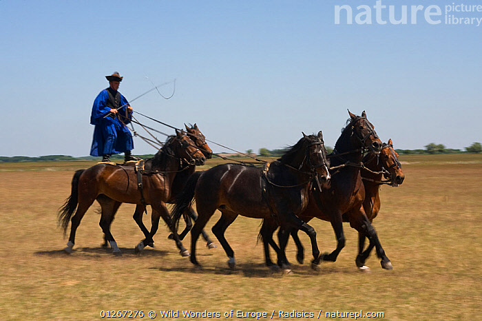 Typical Hungarian herdsman's riding ritual, Hortobagy National Park, Hungary, May 2009  ,  EASTERN EUROPE,EUROPE,FIVE,GROUPS,HORSES,HUNGARY,MAMMALS,MILAN RADISICS,NP,PEOPLE,PERISSODACTYLA,RESERVE,RIDING,STANDING,VERTEBRATES,WWE,National Park,Equines  ,  Wild Wonders of Europe / Radisics