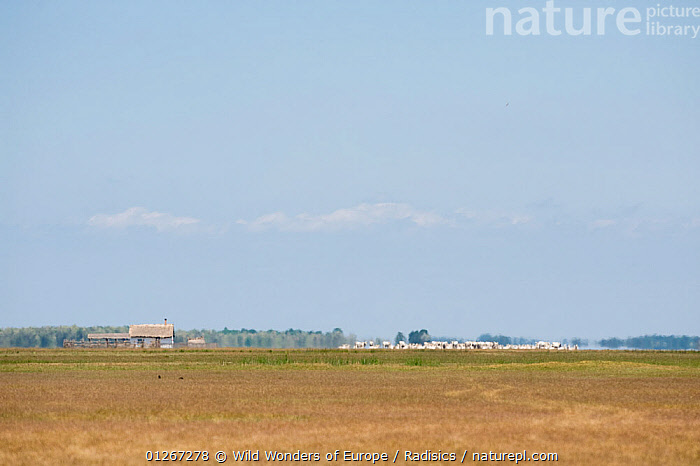 Landscape cattle near a building with a mirage (fata morgana) Hortobagy National Park, Hungary, May 2009  ,  BUILDINGS,CATTLE,EASTERN EUROPE,EUROPE,GROUPS,HUNGARY,LANDSCAPES,MILAN RADISICS,NP,RESERVE,WWE,National Park  ,  Wild Wonders of Europe / Radisics