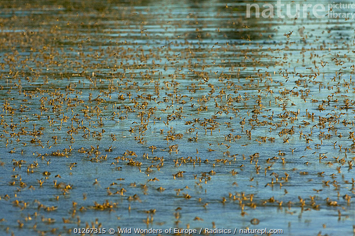 Tisza mayflies (Palingenia longicauda) swarming, Tisza river, Hungary, June 2009  ,  EASTERN EUROPE,EMERGING,EPHEMEROPTERA,EUROPE,FLYING,GROUPS,HATCHING,HUNGARY,INSECTS,INVERTEBRATES,MAYFLIES,MILAN RADISICS,RIVERS,SWARM,WWE  ,  Wild Wonders of Europe / Radisics