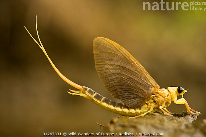 Tisza mayfly (Palingenia longicauda) portrait, Tisza river, Hungary, June 2009, CUTOUT,EASTERN EUROPE,EPHEMEROPTERA,EUROPE,HUNGARY,INSECTS,INVERTEBRATES,MAYFLIES,MILAN RADISICS,PORTRAITS,PROFILE,WWE, Wild Wonders of Europe / Radisics