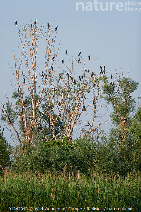 Pygmy cormorant (Microcarbo pygmeus) colony in trees, Lake Tisza, Hortobagy National Park, Hungary, July 2009  ,  BIRDS, CORMORANTS, EASTERN-EUROPE, EUROPE, GROUPS, HUNGARY, Milan-Radisics, NP, RESERVE, SEABIRDS, TREES, VERTEBRATES, VERTICAL, WWE,National Park,PLANTS  ,  Wild Wonders of Europe / Radisics