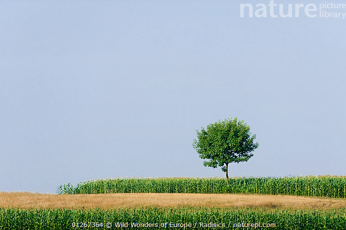 Solitary tree on the infinitive prairie of Hortobagy National Park, Hungary, July 2009  ,  AGRUICULTURE,CROPS,EASTERN EUROPE,EUROPE,HUNGARY,LANDSCAPES,MILAN RADISICS,NP,RESERVE,TREES,WWE,National Park,PLANTS  ,  Wild Wonders of Europe / Radisics
