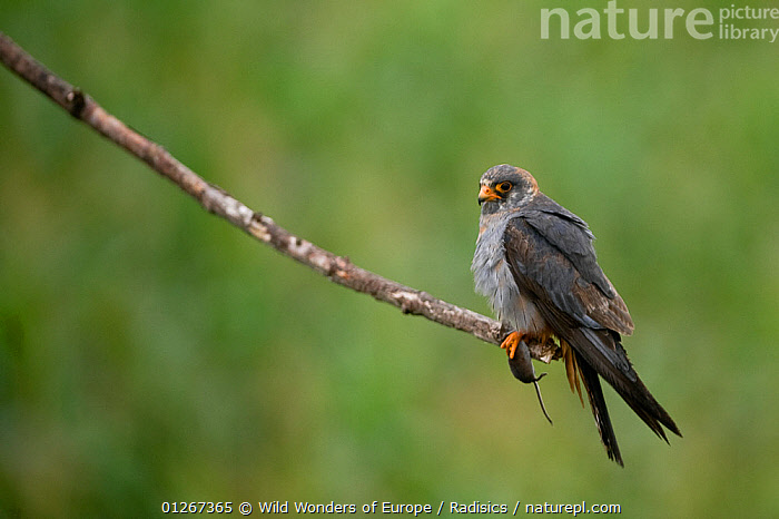 Red footed falcon (Falco vespertinus) perched on branch with a mouse in its claws, Hortobagy National Park, Hungary, July 2009  ,  BIRDS,BIRDS OF PREY,BRANCHES,EASTERN EUROPE,EUROPE,FALCONS,HUNGARY,MICE,MILAN RADISICS,NP,PREDATION,RESERVE,RODENTS,VERTEBRATES,WWE,National Park,Behaviour,Mammals  ,  Wild Wonders of Europe / Radisics
