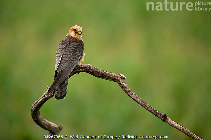 Red footed falcon (Falco vespertinus) perched on branch, Hortobagy National Park, Hungary, July 2009  ,  BIRDS,BIRDS OF PREY,BRANCHES,CUTOUT,EASTERN EUROPE,EUROPE,FALCONS,HUNGARY,MILAN RADISICS,NP,RESERVE,VERTEBRATES,WWE,National Park  ,  Wild Wonders of Europe / Radisics
