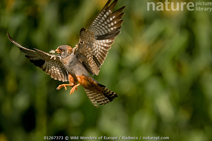 Red footed falcon (Falco vespertinus) in flight carrying insect prey for young, Hortobagy National Park, Hungary, July 2009  ,  BIRDS,BIRDS OF PREY,EASTERN EUROPE,EUROPE,FALCONS,FEEDING,FLYING,HUNGARY,INSECTS,MILAN RADISICS,NP,PARENTAL,PREDATION,RESERVE,VERTEBRATES,WINGS,WWE,Invertebrates,National Park,Behaviour  ,  Wild Wonders of Europe / Radisics