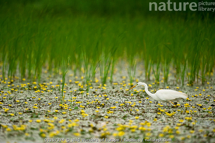 Great white egret (Ardea alba) in a lake covered in Yellow floating heart / Fringed water lilies (Nymphoides peltata) Hortobagy National Park, Hungary, July 2009  ,  BIRDS, DICOTYLEDONS, EASTERN-EUROPE, egretta alba, EUROPE, FLOWERS, great white heron, HERONS, HUNGARY, LAKES, MENYANTHACEAE, Milan-Radisics, NP, PLANTS, RESERVE, VERTEBRATES, WETLANDS, WWE,National Park  ,  Wild Wonders of Europe / Radisics