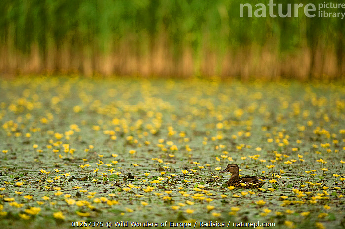 Mallard duck (Anas platyrhynchos) swimming in lake covered with Yellow floating heart / Fringed water lilies (Nymphoides peltata) Hortobagy Natinal Park, Hungary, July 2009  ,  BIRDS,DICOTYLEDONS,DUCKS,EASTERN EUROPE,EUROPE,FEMALES,FLOWERS,HUNGARY,LAKES,MENYANTHACEAE,MILAN RADISICS,PLANTS,VERTEBRATES,WATERFOWL,WWE,YELLOW  ,  Wild Wonders of Europe / Radisics
