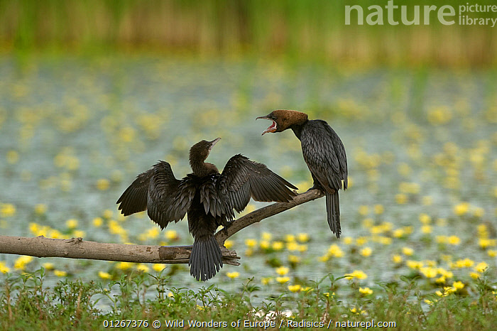Two Pygmy cormorants (Microcarbo pygmeus) on a branch, one drying its wings, the other calling, Hortobagy National Park, Hungary, July 2009  ,  BEHAVIOUR, BIRDS, CORMORANTS, EASTERN-EUROPE, EUROPE, HUNGARY, LAKES, Milan-Radisics, NP, RESERVE, SEABIRDS, VERTEBRATES, VOCALISATION, WINGS, WWE,National Park  ,  Wild Wonders of Europe / Radisics