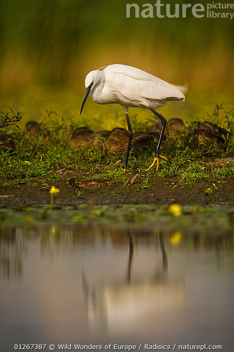 Little egret (Egretta garzetta) on lake shore, Hortobagy National Park, Hungary, July 2009  ,  BIRDS,EASTERN EUROPE,EUROPE,HERONS,HUNGARY,LAKES,MILAN RADISICS,NP,REFLECTIONS,RESERVE,VERTEBRATES,VERTICAL,WATER,WWE,National Park  ,  Wild Wonders of Europe / Radisics