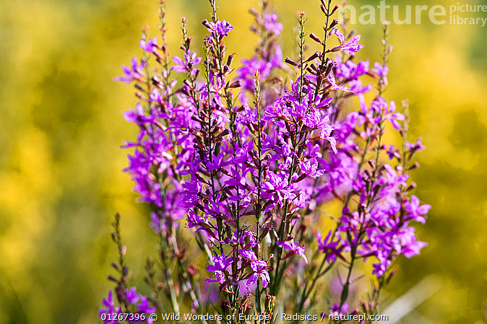 Purple loosestrife (Lythrum salicaria) in flower, Hortobagy National Park, Hungary, July 2009  ,  DICOTYLEDONS,EASTERN EUROPE,EUROPE,FLOWERS,HUNGARY,LYTHRACEAE,MILAN RADISICS,NP,PLANTS,PURPLE,RESERVE,WWE,National Park  ,  Wild Wonders of Europe / Radisics