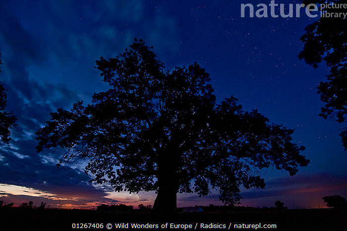 Oak tree, the oldest tree in Hortobagy National Park, Hungary, July 2009  ,  DICOTYLEDONS,DUSK,EASTERN EUROPE,EUROPE,FAGACEAE,HUNGARY,MILAN RADISICS,NP,PLANTS,RESERVE,SILHOUETTES,TREES,WWE,National Park  ,  Wild Wonders of Europe / Radisics