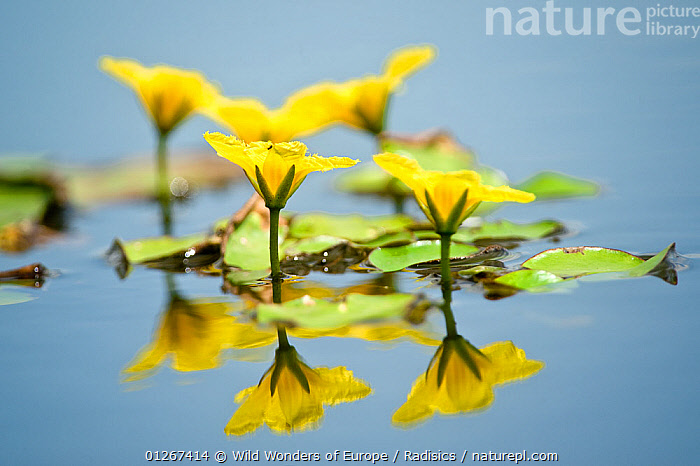 Fringed water lily / Yellow floating heart (Nymphoides peltata) flowers, Hortobagy National Park, Hungary, July 2009  ,  DICOTYLEDONS,EASTERN EUROPE,EUROPE,FLOWERS,HUNGARY,LAKES,MENYANTHACEAE,MILAN RADISICS,NP,PLANTS,REFLECTIONS,RESERVE,WATER,WWE,YELLOW,National Park  ,  Wild Wonders of Europe / Radisics