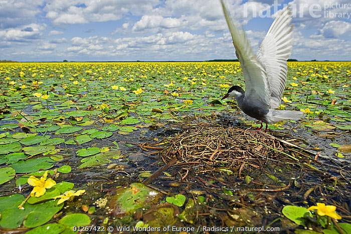 Whiskered tern (Chlidonias hybridus) with stretched wings on nest in lake covered in flowering Fringed water lilies / Yellow floating heart (Nymphoides peltata) Hortobagy National Park, Hungary, July 2009  ,  BIRDS,DICOTYLEDONS,EASTERN EUROPE,EUROPE,FLOWERS,HUNGARY,LAKES,MENYANTHACEAE,MILAN RADISICS,NESTS,NP,PLANTS,RESERVE,SEABIRDS,TERNS,VERTEBRATES,WINGS,WWE,YELLOW,National Park  ,  Wild Wonders of Europe / Radisics