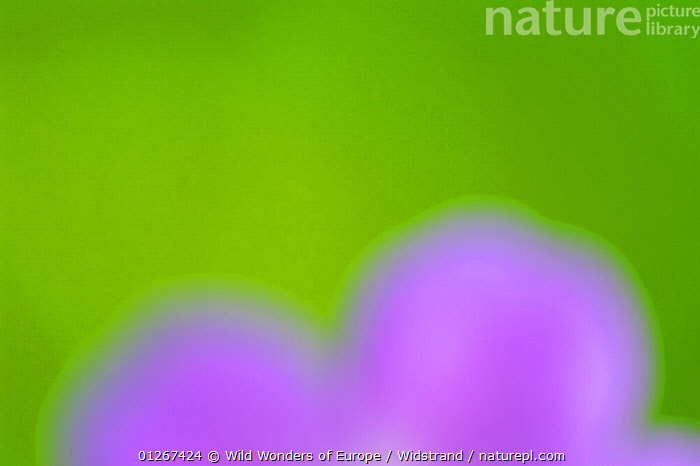 Wood cranesbill (Geranium sylvaticum) flower, Norway, June 2008  ,  ABSTRACT,ARTY SHOTS,DICOTYLEDONS,EUROPE,FLOWERS,GERANIACEAE,GREEN,NORWAY,PLANTS,PURPLE,STAFFAN WIDSTRAND,WWE, Scandinavia  ,  Wild Wonders of Europe / Widstrand