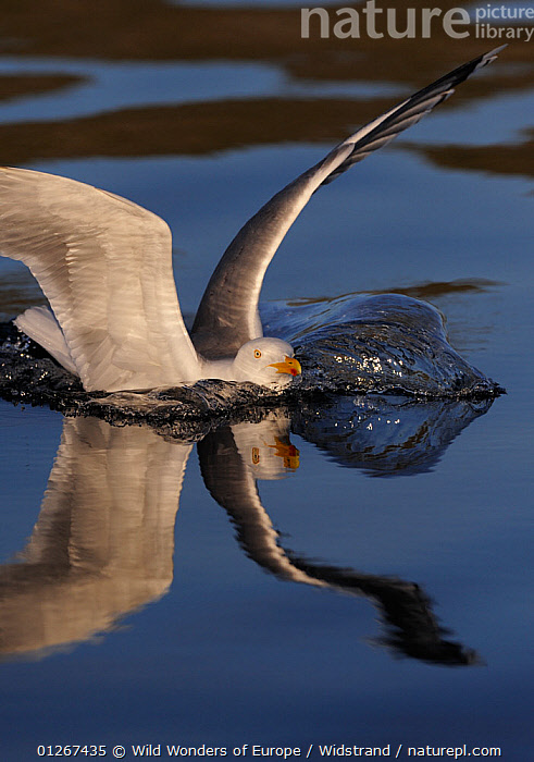Herring gull (Larus argentatus) landing in water, Flatanger, Norway, June 2008  ,  BIRDS,EUROPE,GULLS,LANDING,NORWAY,REFLECTIONS,SCANDINAVIA,SEABIRDS,STAFFAN WIDSTRAND,VERTEBRATES,VERTICAL,WATER,WINGS,WWE, Scandinavia  ,  Wild Wonders of Europe / Widstrand