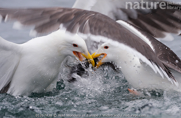 Two Greater black backed gulls (Larus marinus) fighting, Flatanger, Norway, June 2008  ,  ACTION,BEHAVIOUR,BIRDS,EUROPE,FIGHTING,GREAT BLACK BACKED GULL,GULLS,NORWAY,SCANDINAVIA,SEABIRDS,SPRAY,STAFFAN WIDSTRAND,VERTEBRATES,WINGS,WWE,Aggression, Scandinavia,Concepts  ,  Wild Wonders of Europe / Widstrand