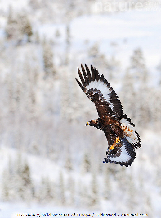 Golden eagle (Aquila chrysaetos) in flight, Flatanger, Norway, November 2008  ,  BIRDS,BIRDS OF PREY,EAGLES,EUROPE,FLYING,NORWAY,SCANDINAVIA,SNOW,STAFFAN WIDSTRAND,VERTEBRATES,VERTICAL,WWE, Scandinavia,Raptor  ,  Wild Wonders of Europe / Widstrand