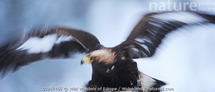 Golden eagle (Aquila chrysaetos) flapping wings, Flatanger, Norway, November 2008  ,  ABSTRACT,ARTY SHOTS,BIRDS,BIRDS OF PREY,EAGLES,EUROPE,MOVEMENT,NORWAY,SCANDINAVIA,STAFFAN WIDSTRAND,VERTEBRATES,WINGS,WWE, Scandinavia,Raptor  ,  Wild Wonders of Europe / Widstrand