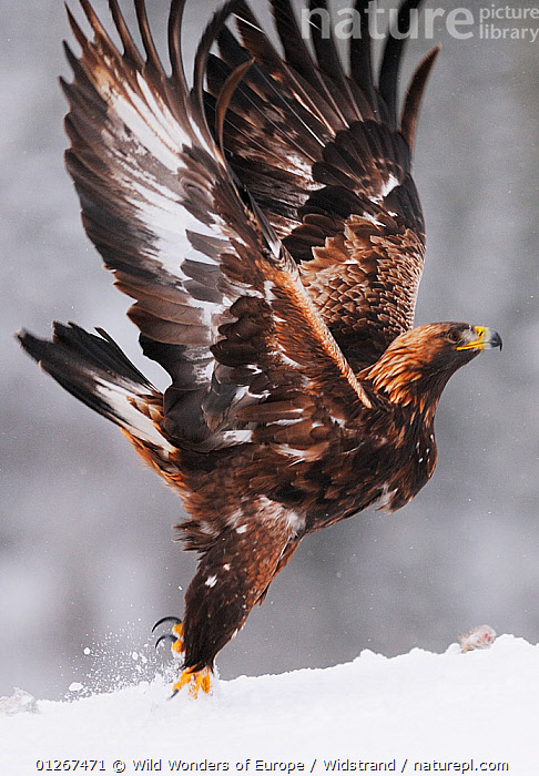 Golden eagle (Aquila chrysaetos) taking off, Flatanger, Norway, November 2008  ,  BIRDS,BIRDS OF PREY,EAGLES,EUROPE,FLYING,NORWAY,SCANDINAVIA,SNOW,STAFFAN WIDSTRAND,TAKE OFF,VERTEBRATES,VERTICAL,WINGS,WWE, Scandinavia,Raptor  ,  Wild Wonders of Europe / Widstrand