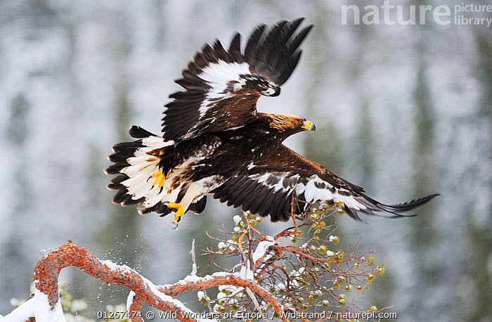 Golden eagle (Aquila chrysaetos) in flight just after taking off, Flatanger, Norway, November 2008  ,  BIRDS,BIRDS OF PREY,BRANCHES,EAGLES,EUROPE,FLYING,NORWAY,SCANDINAVIA,STAFFAN WIDSTRAND,TAKE OFF,VERTEBRATES,WINGS,WWE, Scandinavia,Raptor  ,  Wild Wonders of Europe / Widstrand