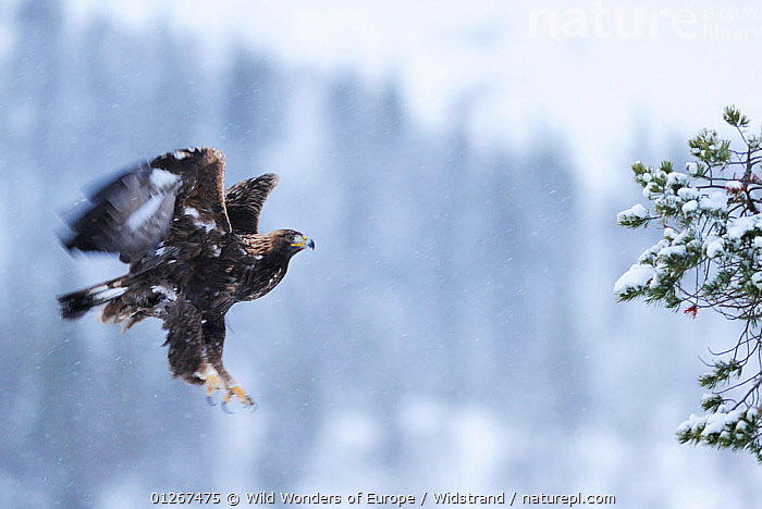 Golden eagle (Aquila chrysaetos) landing, Flatanger, Norway, November 2008  ,  BIRDS,BIRDS OF PREY,EAGLES,EUROPE,FLYING,LANDING,NORWAY,SCANDINAVIA,SNOWING,STAFFAN WIDSTRAND,VERTEBRATES,WWE, Scandinavia,Raptor  ,  Wild Wonders of Europe / Widstrand