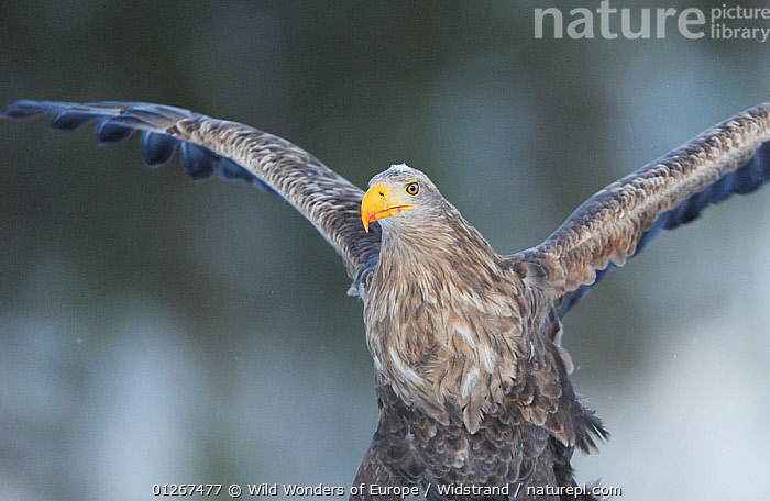 White-tailed sea eagle (Haliaeetus albicilla) with wing stretched out, Flatanger, Norway, December 2008  ,  BIRDS,BIRDS OF PREY,EAGLES,EUROPE,FLYING,LANDING,NORWAY,SCANDINAVIA,STAFFAN WIDSTRAND,VERTEBRATES,WINGS,WWE, Scandinavia,Raptor  ,  Wild Wonders of Europe / Widstrand