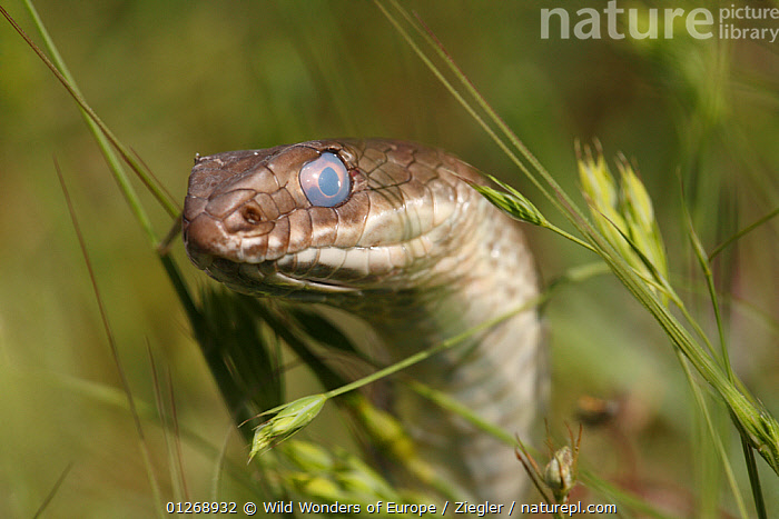 Montpellier snake (Malpolon monspessulanus) shortly before shedding its skin, The Peloponnese, Greece, May 2009  ,  CHRISTIAN ZIEGLER,COLUBRIDS,EUROPE,EYES,GREECE,HEADS,MOULTING,REPTILES,SNAKES,VERTEBRATES,WWE  ,  Wild Wonders of Europe / Ziegler