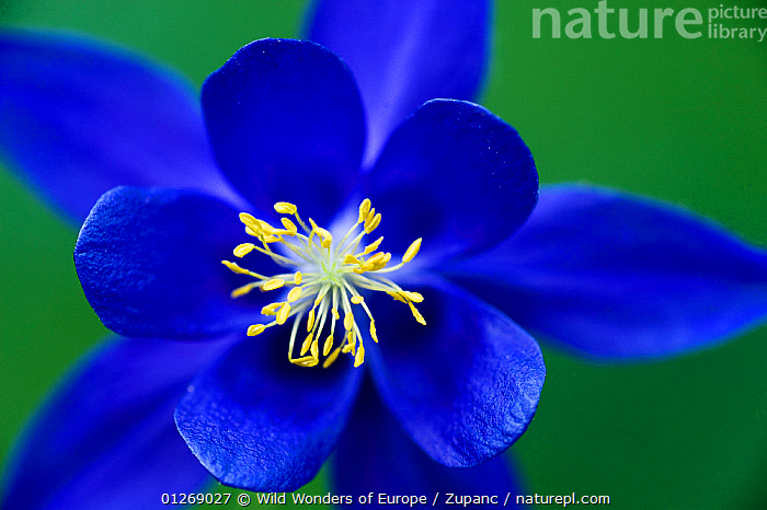 Columbine (Aquilegia sp) flower, Triglav National Park, Slovenia, June 2009  ,  ALPS,BLUE,DANIEL ZUPANC,DICOTYLEDONS,EUROPE,FLOWERS,NP,PLANTS,RANUNCULACEAE,RESERVE,SLOVENIA,WWE,National Park  ,  Wild Wonders of Europe / Zupanc