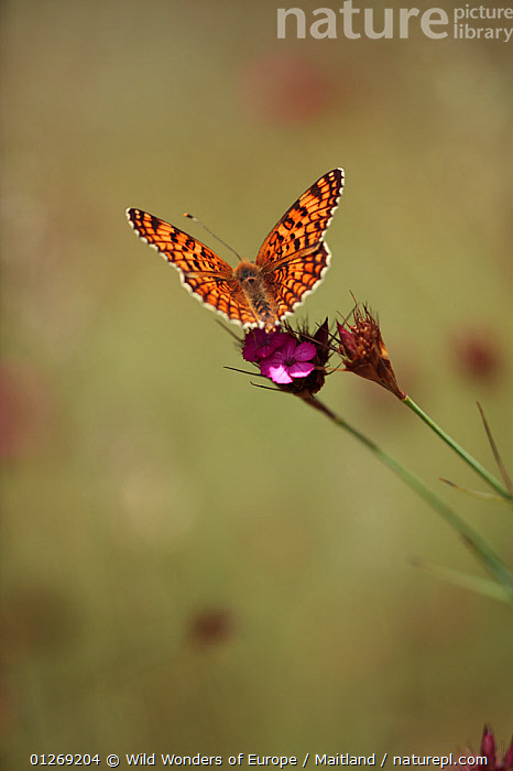 Male Knapweed fritillary butterfly (Melitaea phoebe) on Pink (Dianthus sp) in mountain pasture, Mount Baba (1635 m) in Galicica National Park, Galicica National Park, Macedonia, June 2009  ,  BUTTERFLIES,CARYOPHYLLACEAE,CUTOUT,DAVID MAITLAND,DICOTYLEDONS,EUROPE,FLOWERS,INSECTS,INVERTEBRATES,LEPIDOPTERA,MACEDONIA,MALES,NP,PLANTS,RESERVE,VERTICAL,WWE,National Park,Tyrants  ,  Wild Wonders of Europe / Maitland